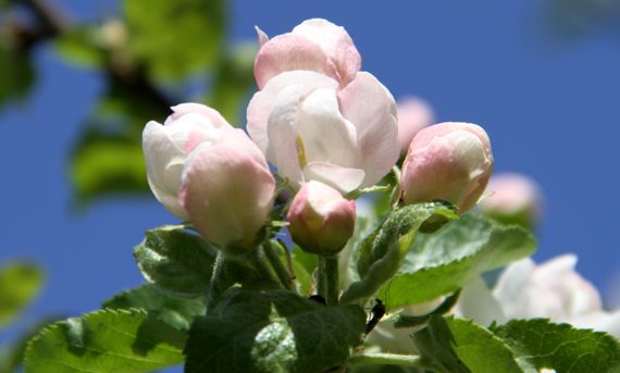 Apple blossoms opening
