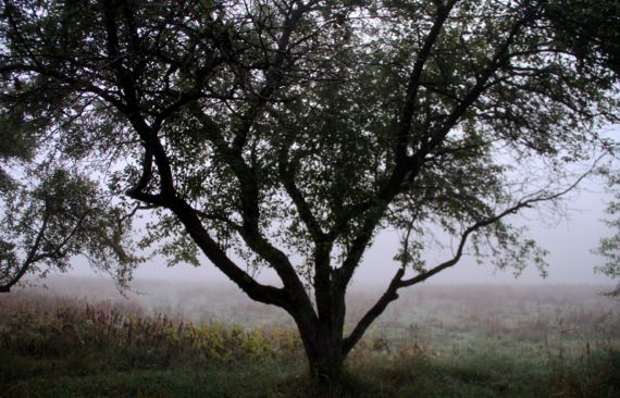 Apple tree amidst fog