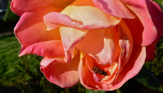 Autumn rose with busy bee