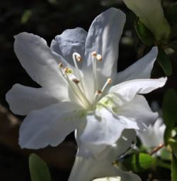 Azalea bloom white