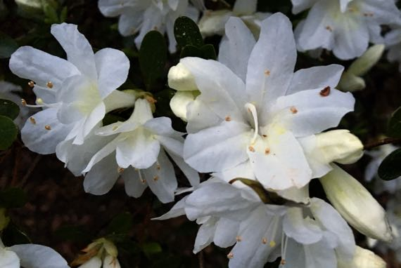 Azalea cluster white
