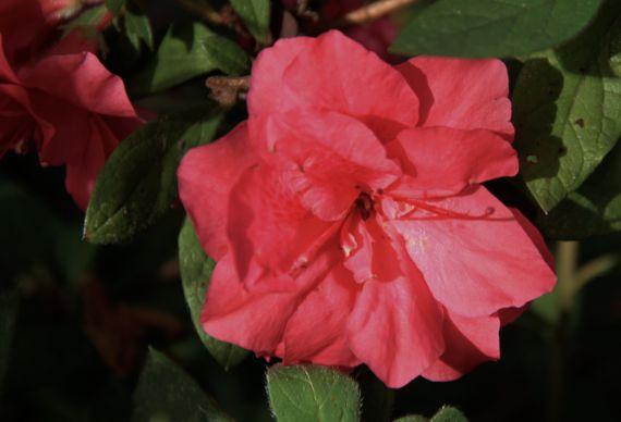 Azalea of summer