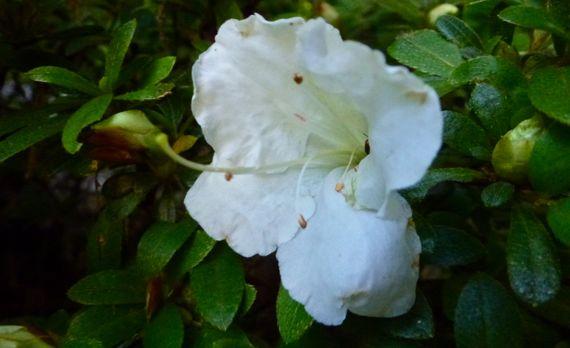 Azalea solo white 2012 round two