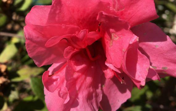 Azalea very pink
