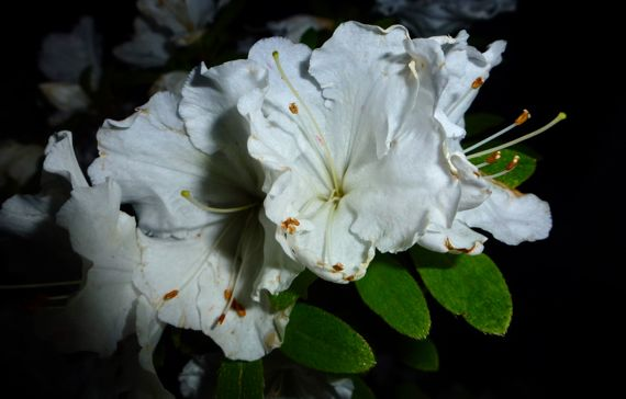 Azalea white 2012 2 flash