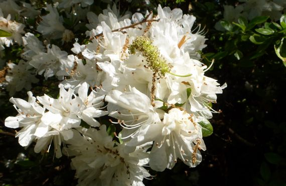 Azalea white adorned