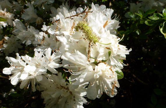 Azalea white adorned