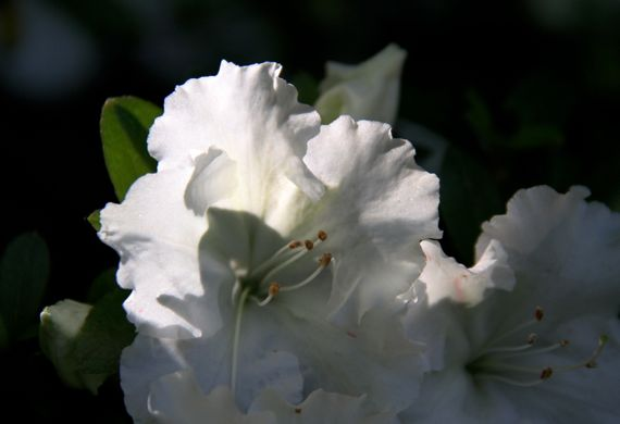 Azalea white backlit
