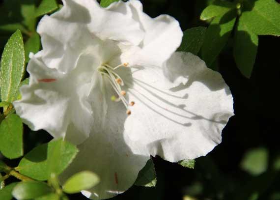 azalea_white_low_2010.jpg