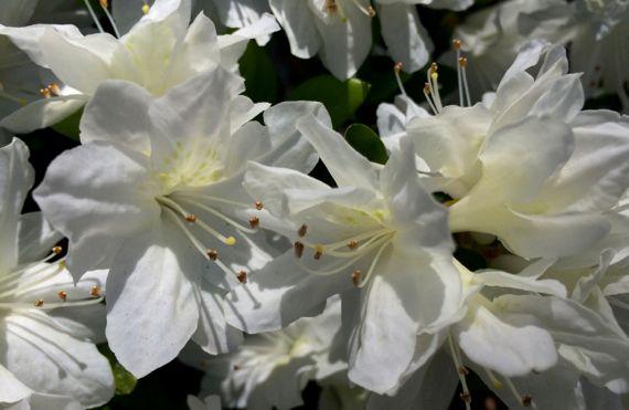 Azalea white open cluster