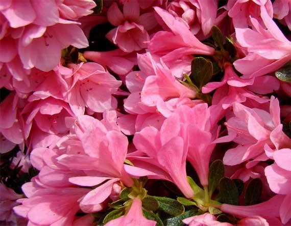azaleas_pink_cluster.jpg
