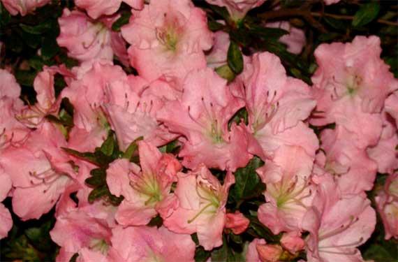 azaleas_pink_fading.jpg