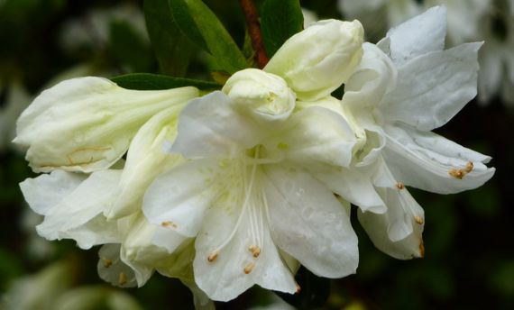 Azaleas white with buds 2011 Mar
