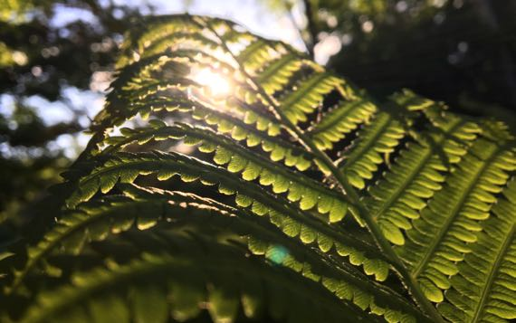 Backlit fern frond
