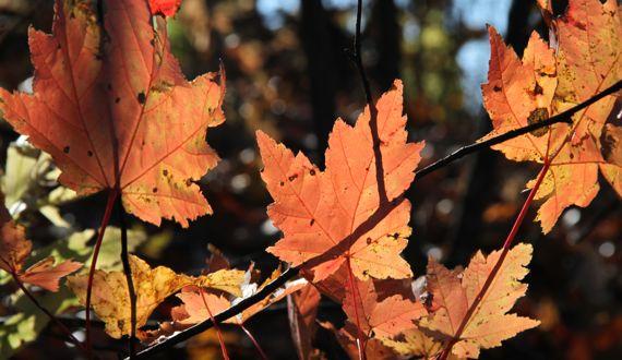 Backlit maple leaf cluster branchlet