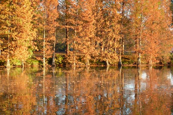 bald_cypress_in_autumn_LakeCM.jpg