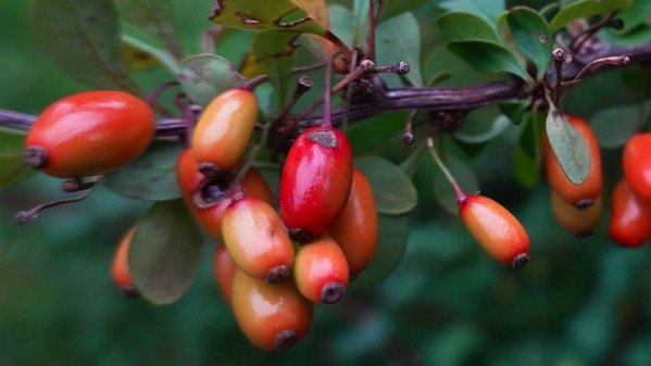 Barberry berries changing