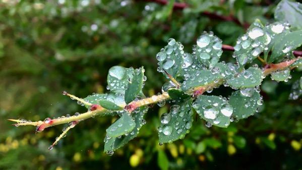 Barberry foliage raindrops