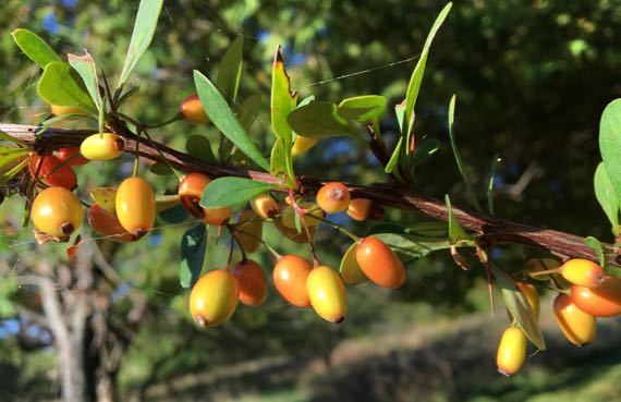 Barberry fruits