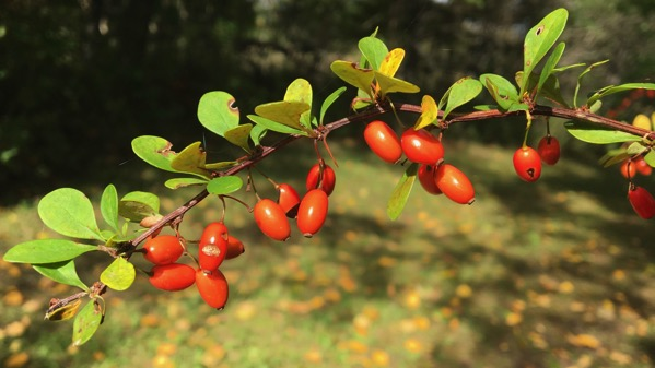 Barberry orange