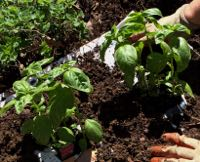 Basil being planted