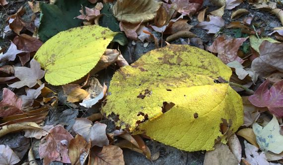 Basswood yellow fall leaves