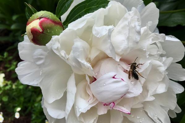 Bee decked peony