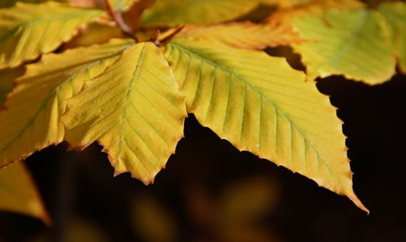 Beech I think leaves yellow autumn