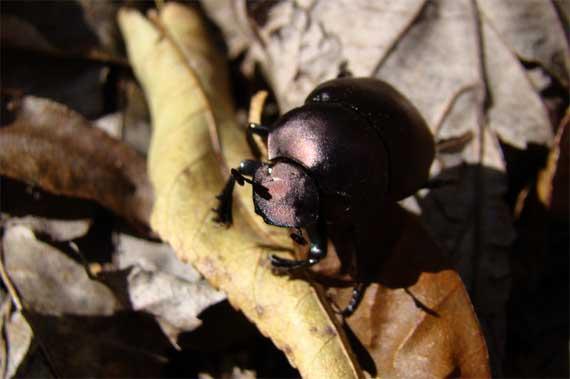 beetle_dung.jpg