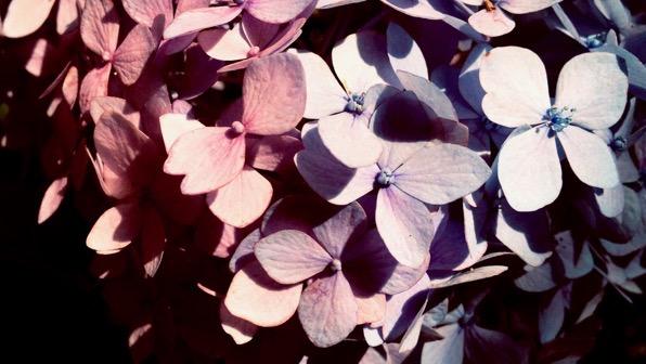 Bicolor hydrangea