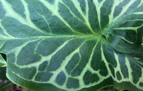 Bicolor leaf
