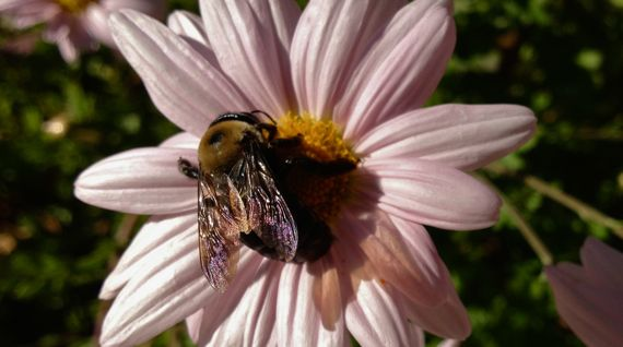 Big fall bumblebee on daisylike flower