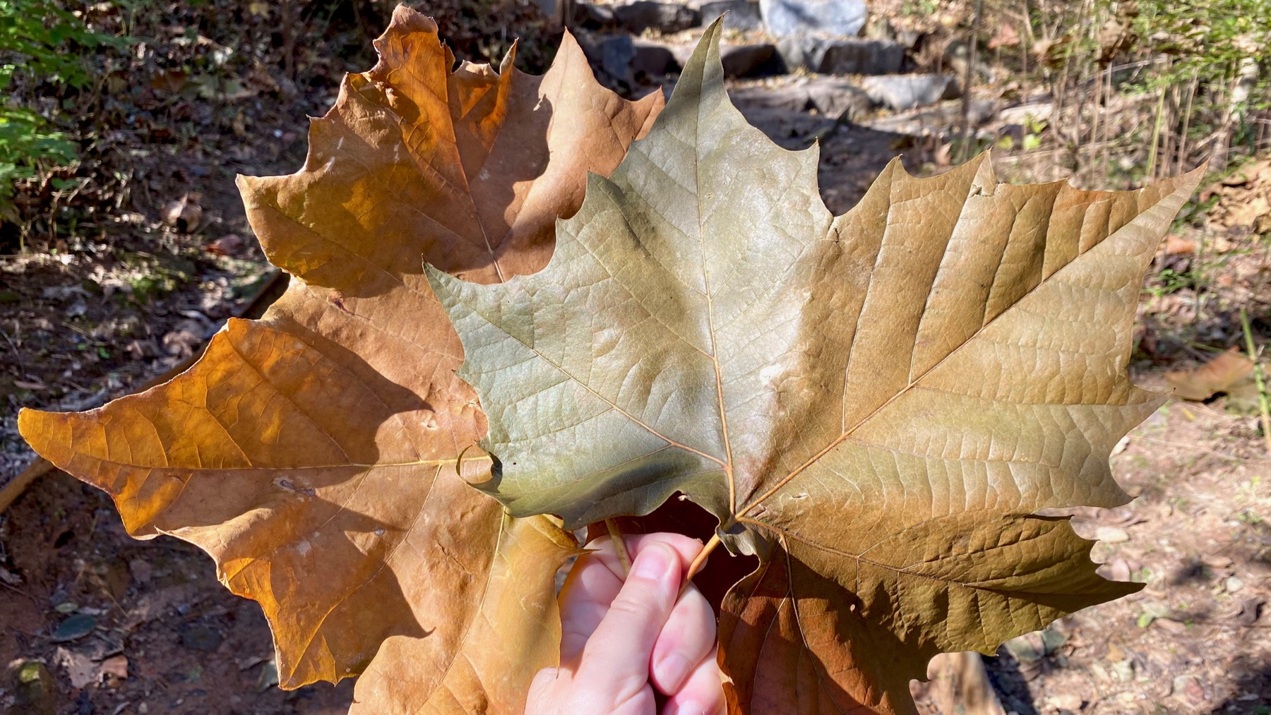 Big sycamore leaves
