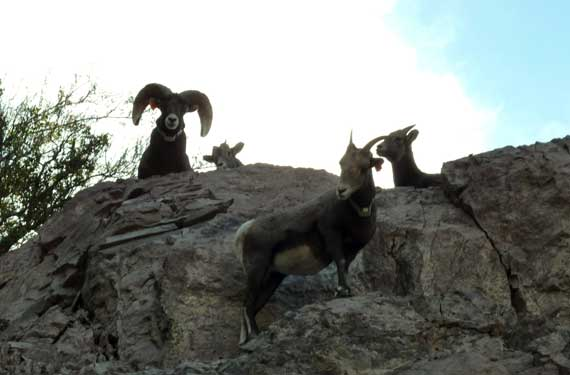 bighorn_sheep_watching.jpg