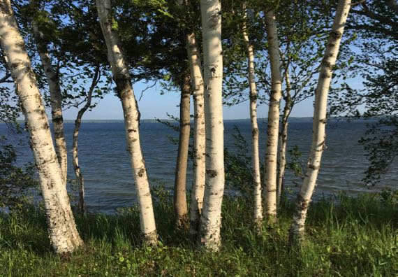 Birches on bluff over lake