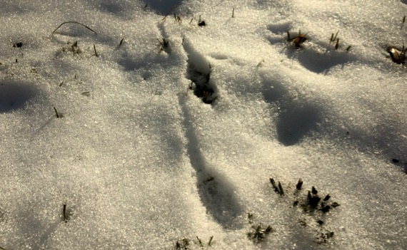 Bird tracks in snow