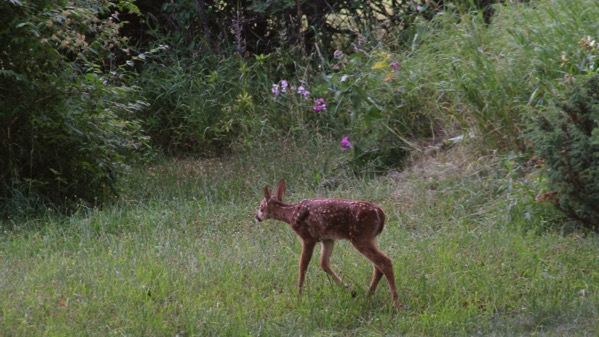 Bleater fawn