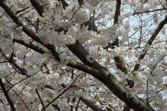 blooming_fruit_tree_white.jpg