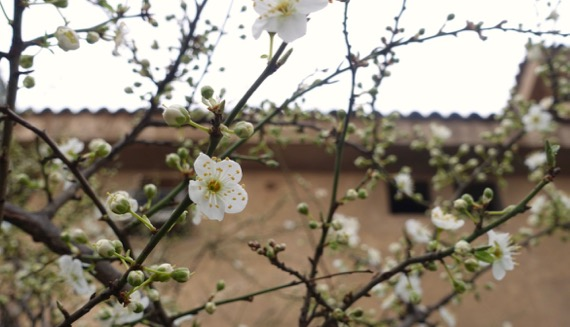 Blooming shrub