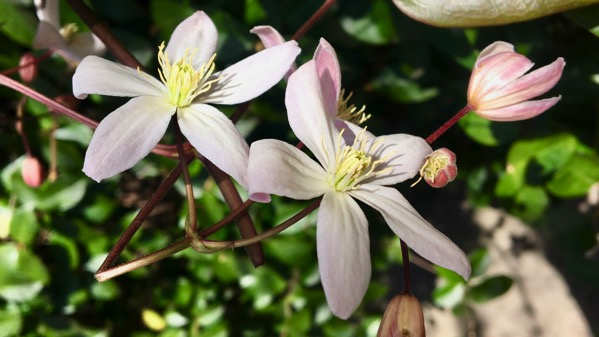 Blooms vine