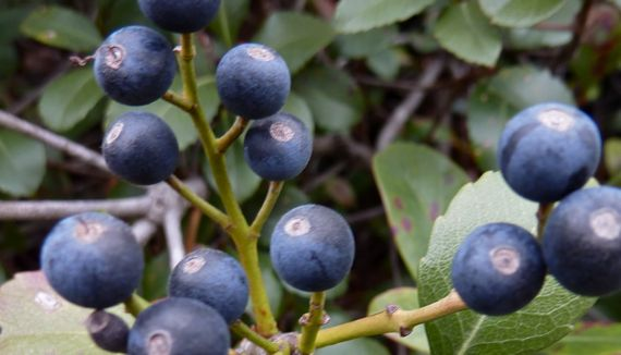 blue_berries_unknown_kind.jpg