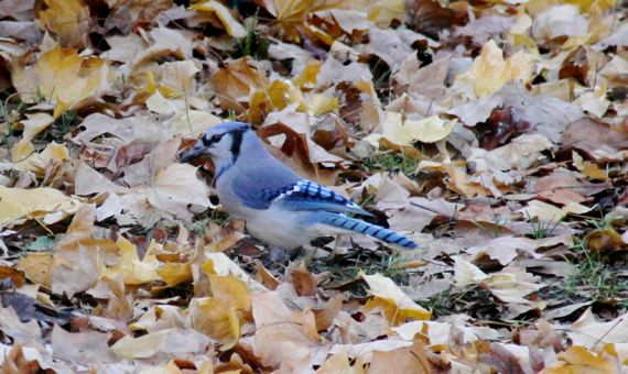 Blue jay in yellowy leaves