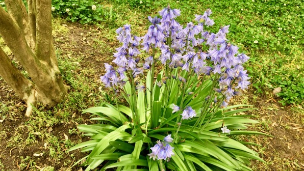 Bluebell cluster