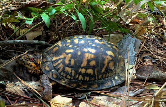 Box turtle posing