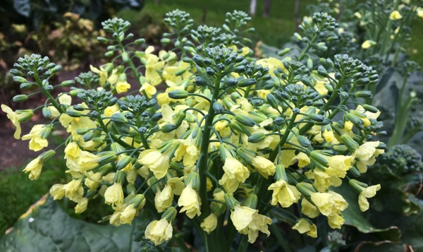 Broccoli flors