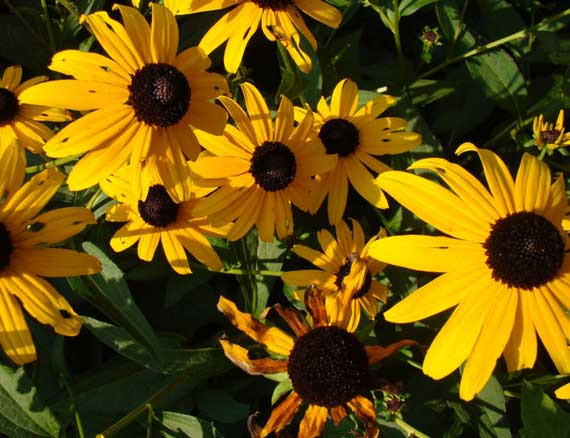 brown_eyed_yellows.jpg