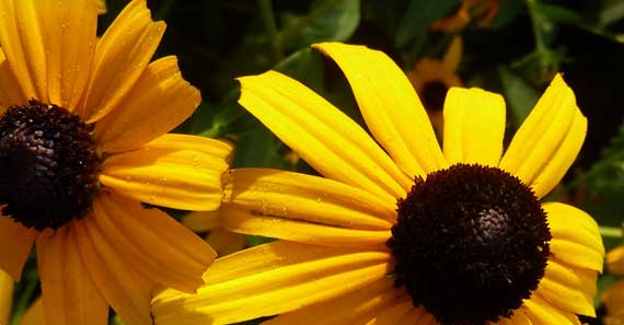 brown_eyed_susans_maybe.jpg