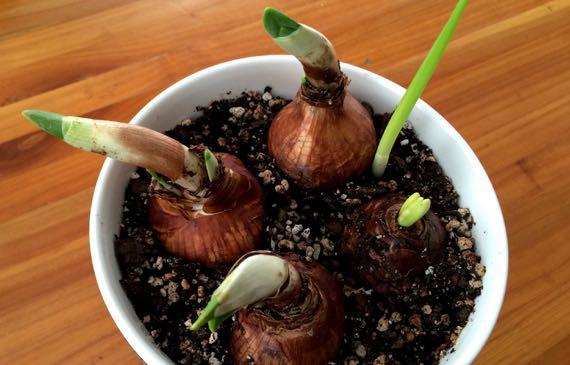Bulb emergence