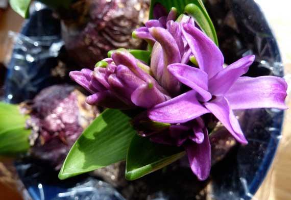 bulb_hyacinth_begins_to_open.jpg