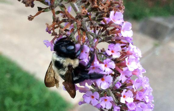 Bumblebee dead